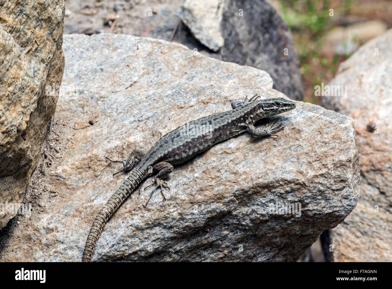 Common wall lizard (Podarcis muralis / Lacerta muralis) basking in the sun on rock - Stock Image