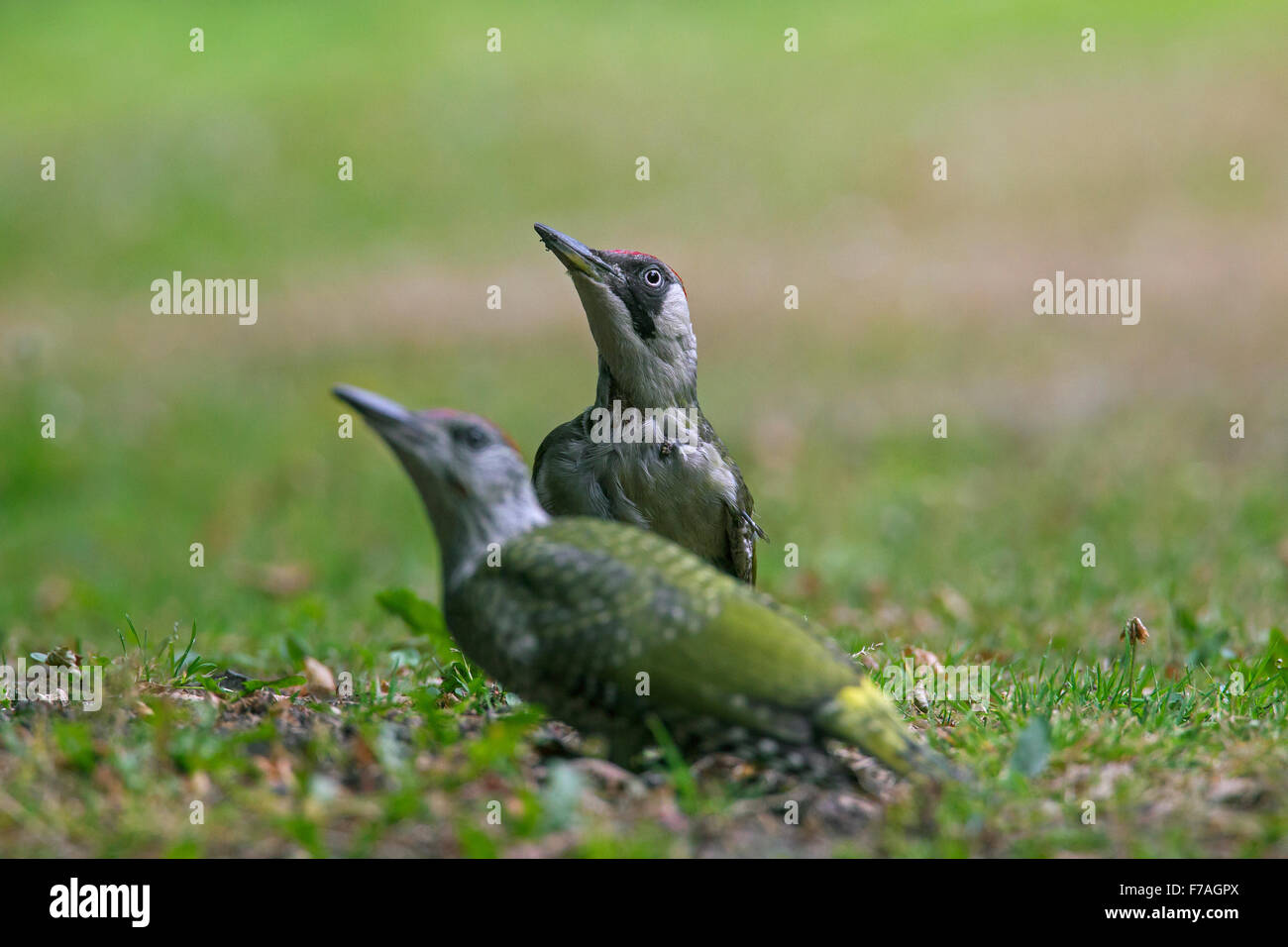 European green woodpecker (Picus viridis) female with juvenile searching for ants in garden lawn - Stock Image