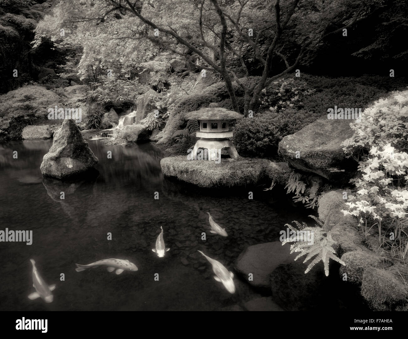Koi in pond with Japanese lantern and waterfalls. Japanese Gardens. Portland, Oregon - Stock Image