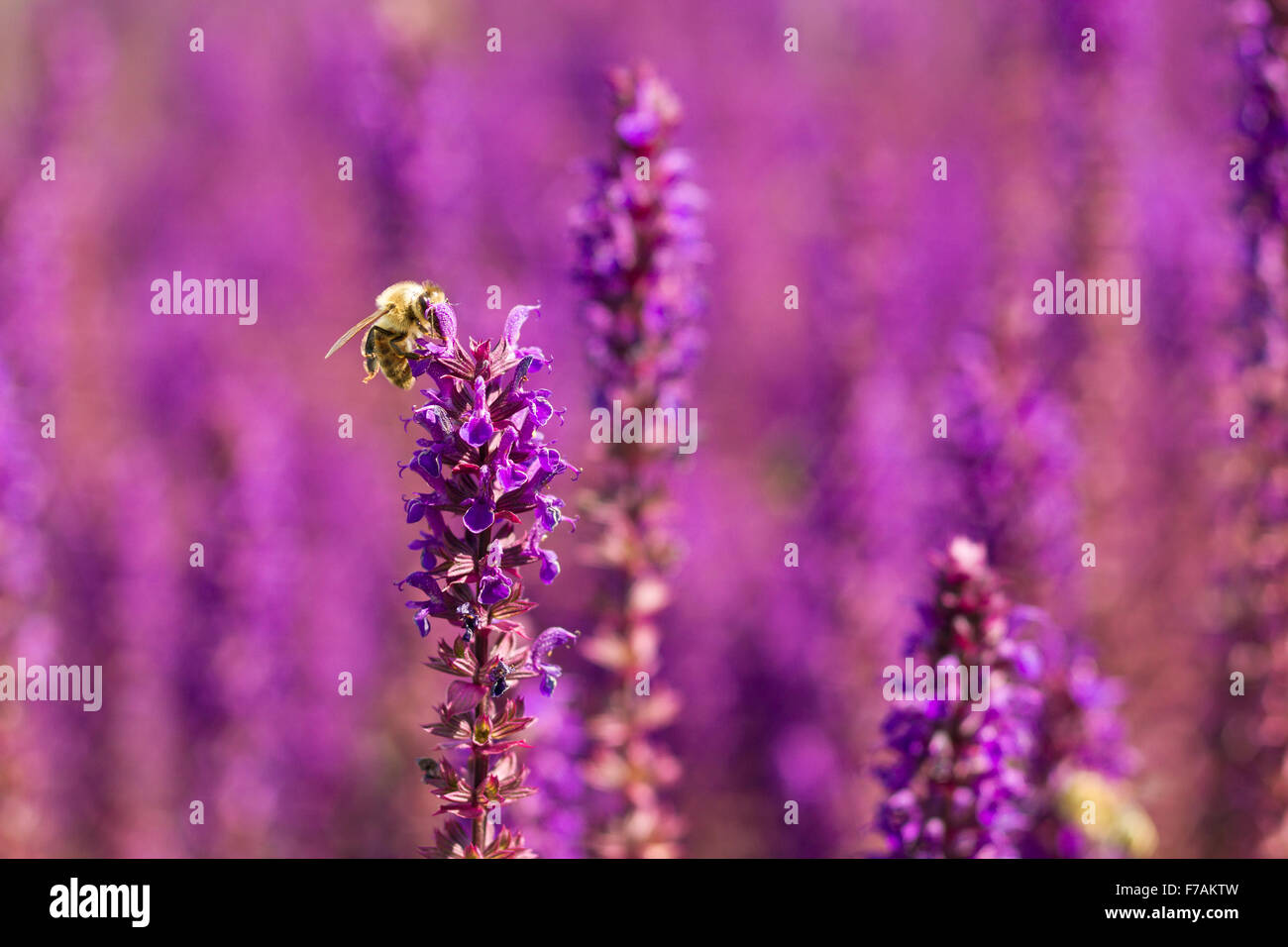 Macro of a Bee on a woodland sage - Stock Image