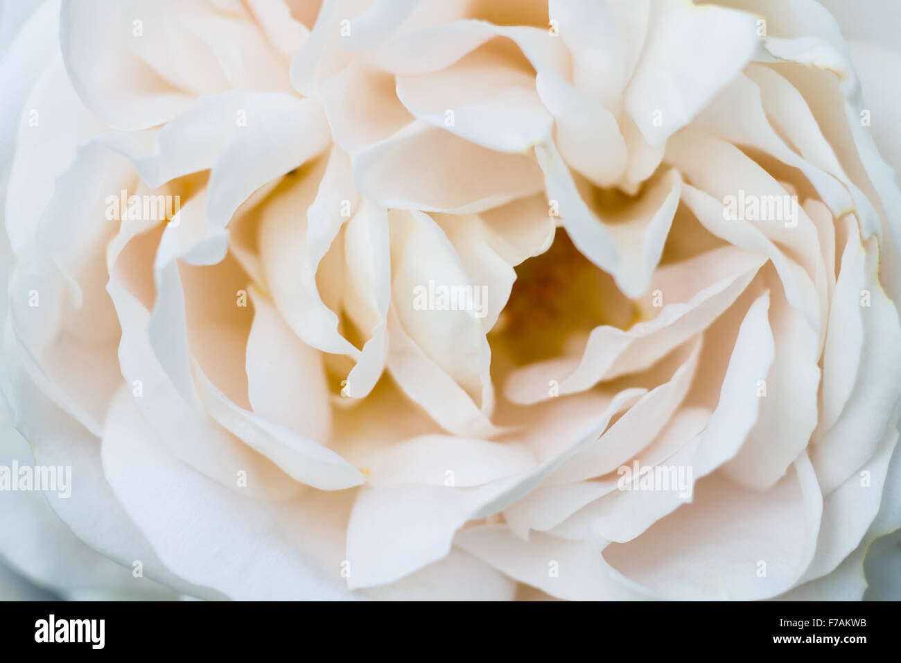 Macro of a beige colored rose cultivar champagne moment - Stock Image