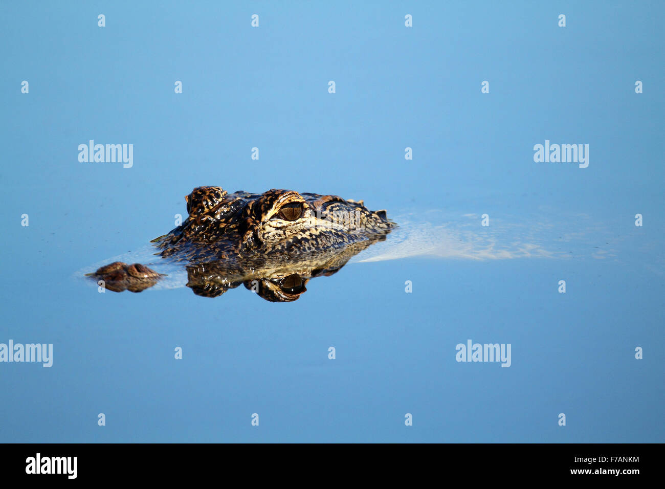 Young Alligator relaxing in perfectly calm waters Stock Photo