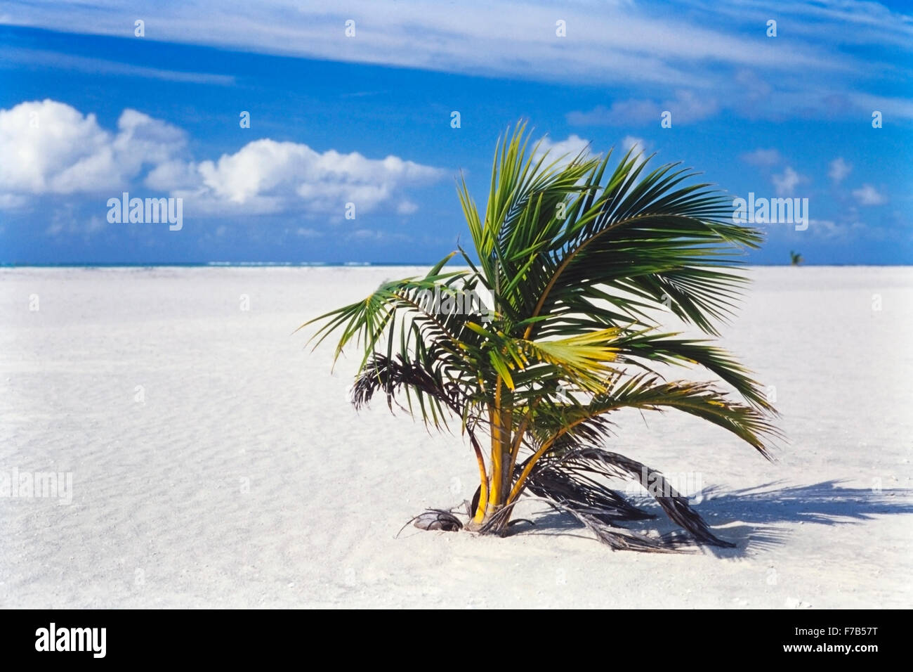 Coconut Palm tree (Cocos nucifera) colonizing sandbar in a tropical lagoon atoll. Primary succession on a new substrate. - Stock Image