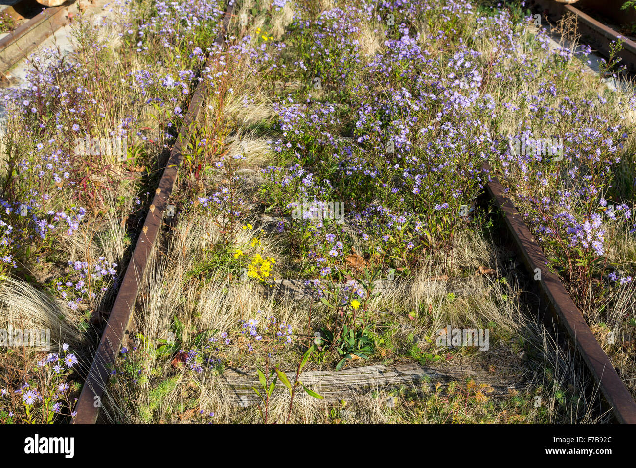Old railway tracks, overgrown with plants, flowers, - Stock Image