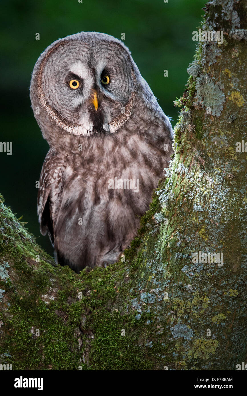 Great Grey Owl - Stock Image