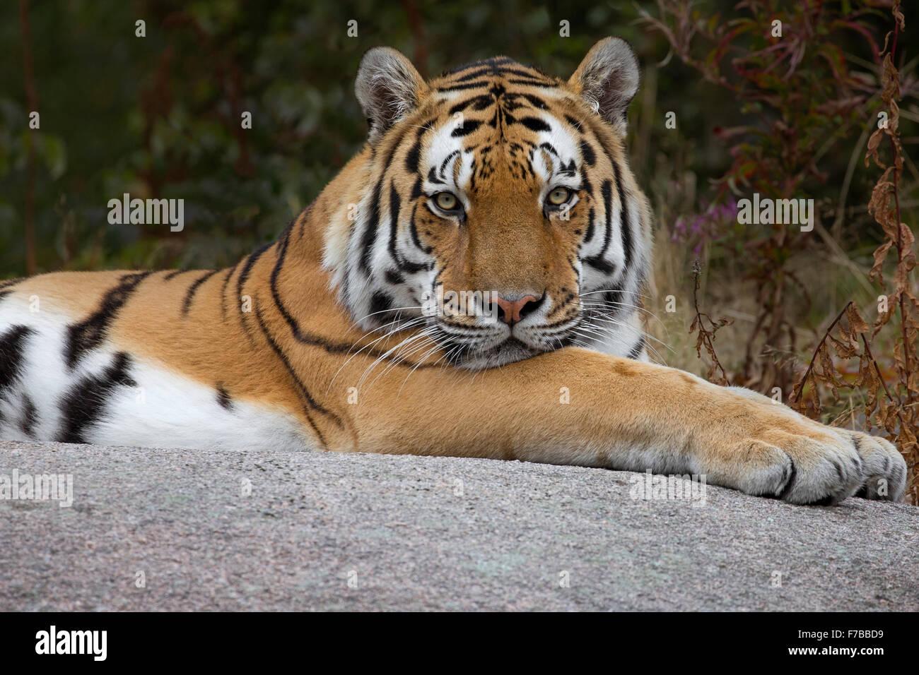 Amur tiger - Stock Image