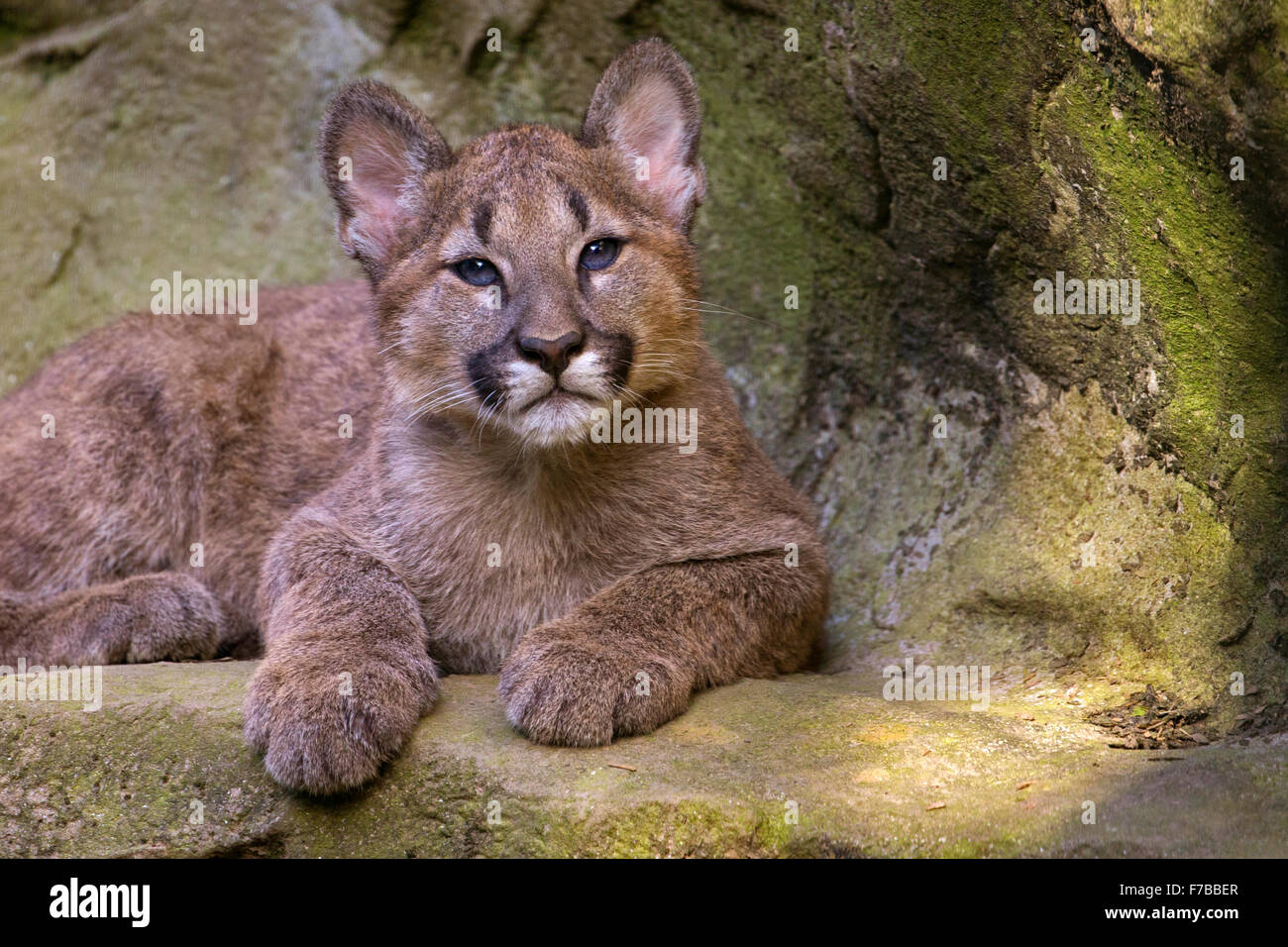 Puma cub, 3 months old. - Stock Image