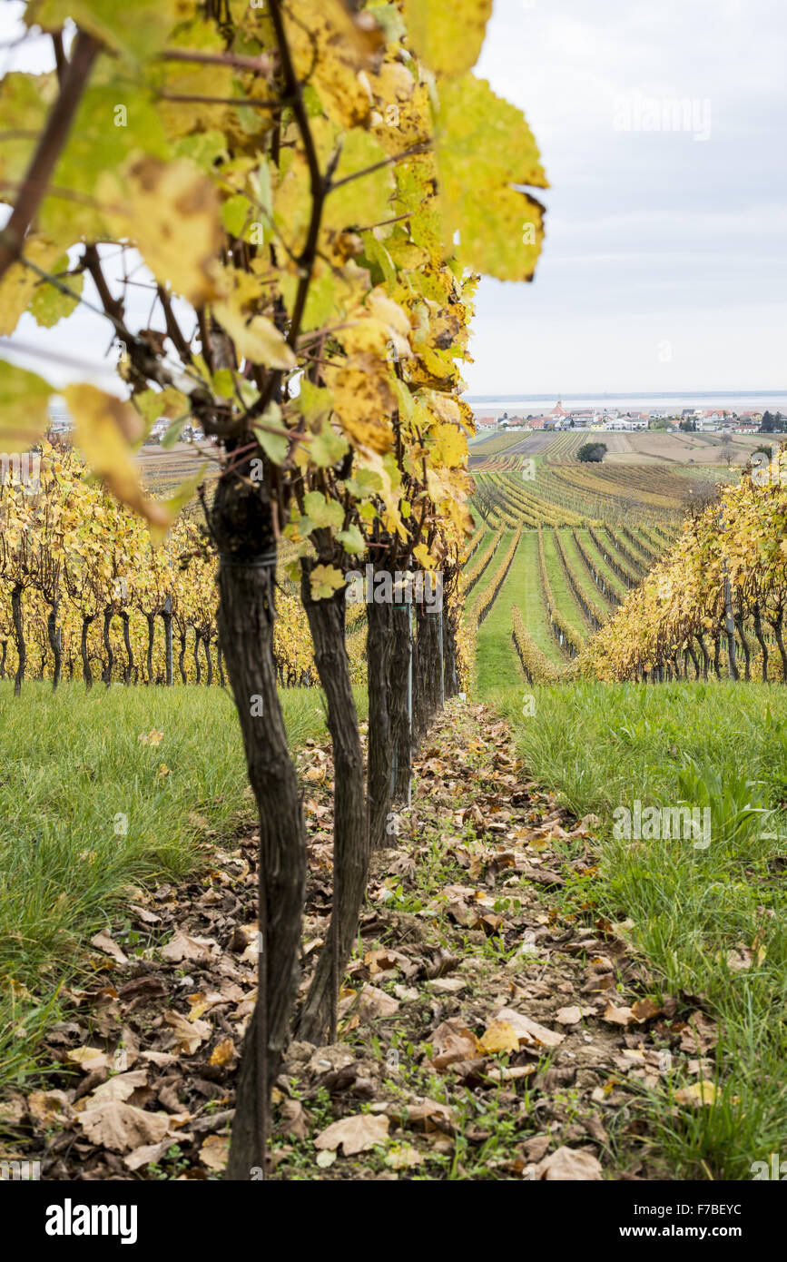 Autumn in vinery village of Jois at Lake Neusiedler See, Burgenland, Austria, Jois - Stock Image
