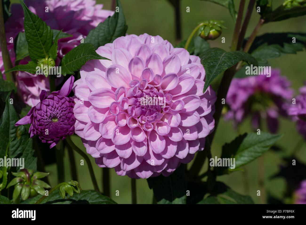 Dahlia Barbarry Drifter flower - Stock Image