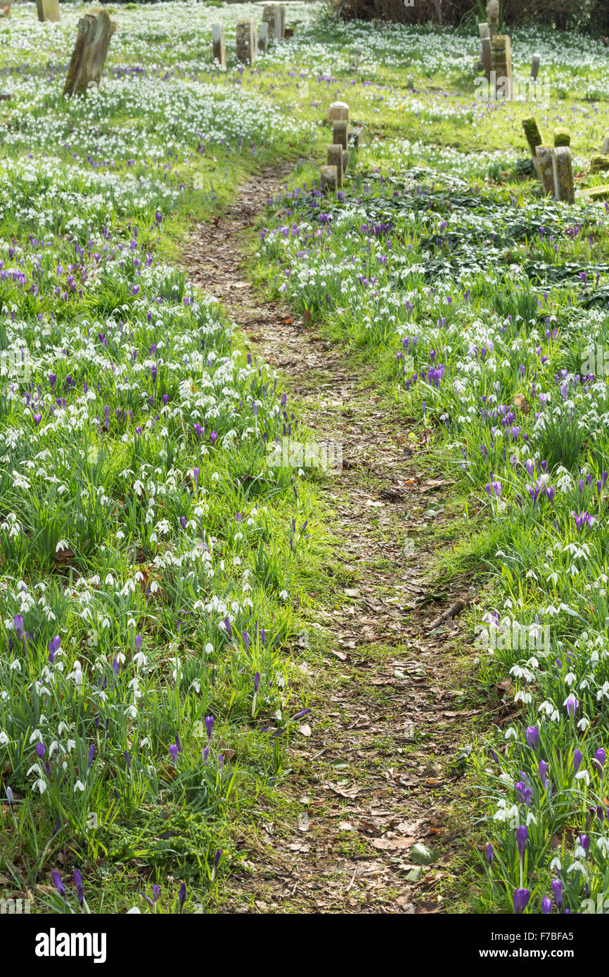A path through Purple Crocus and Snowdrops, Galanthus nivalis, in a Graveyard in Worcestershire, England. Stock Photo