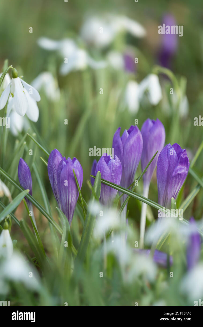 Purple Crocus and Snowdrops, Galanthus nivalis, in a Graveyard in Worcestershire, England. Stock Photo