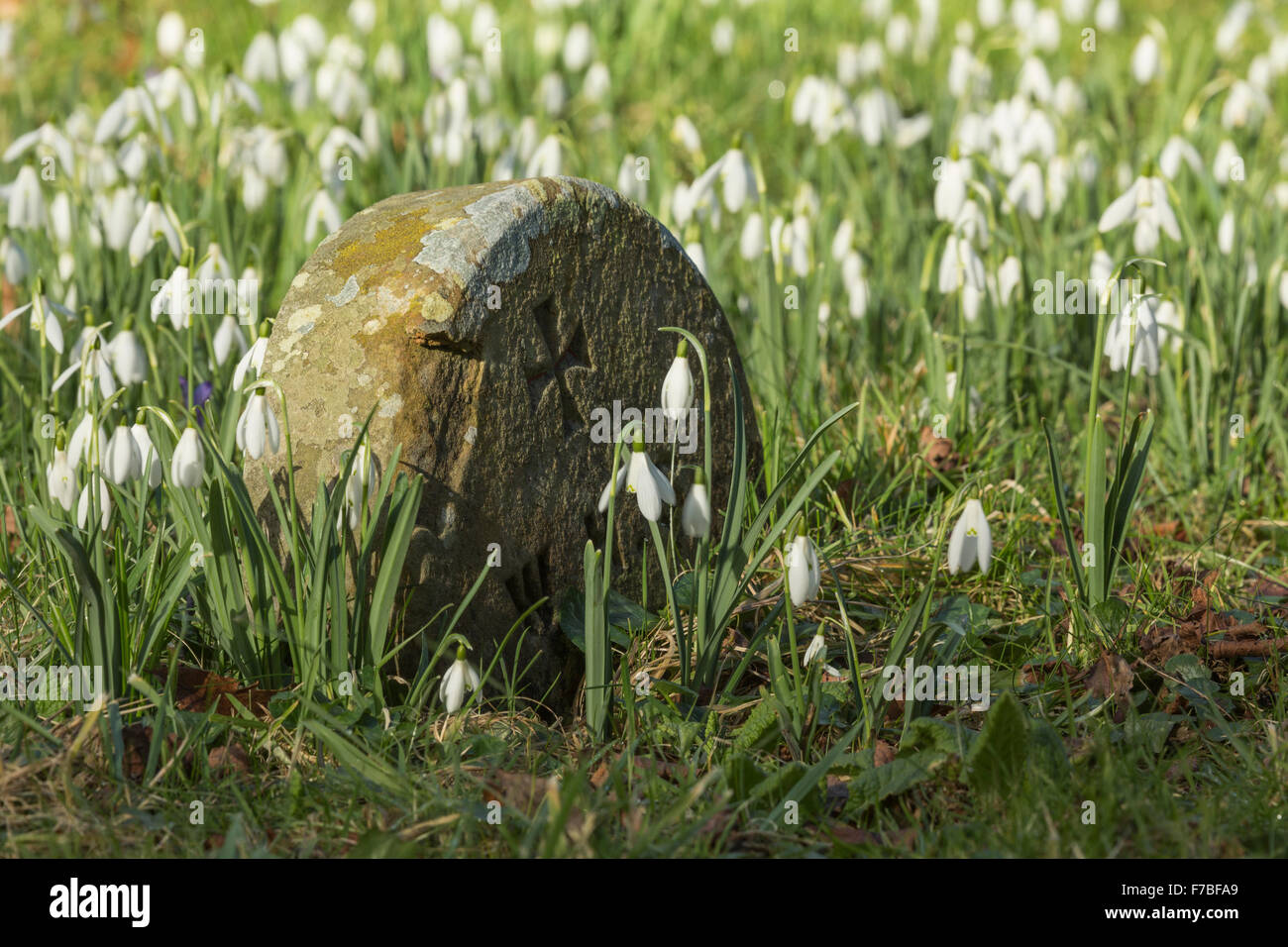 Snowdrops, Galanthus nivalis, surround an old gravestone in a Graveyard in Worcestershire, England. Stock Photo