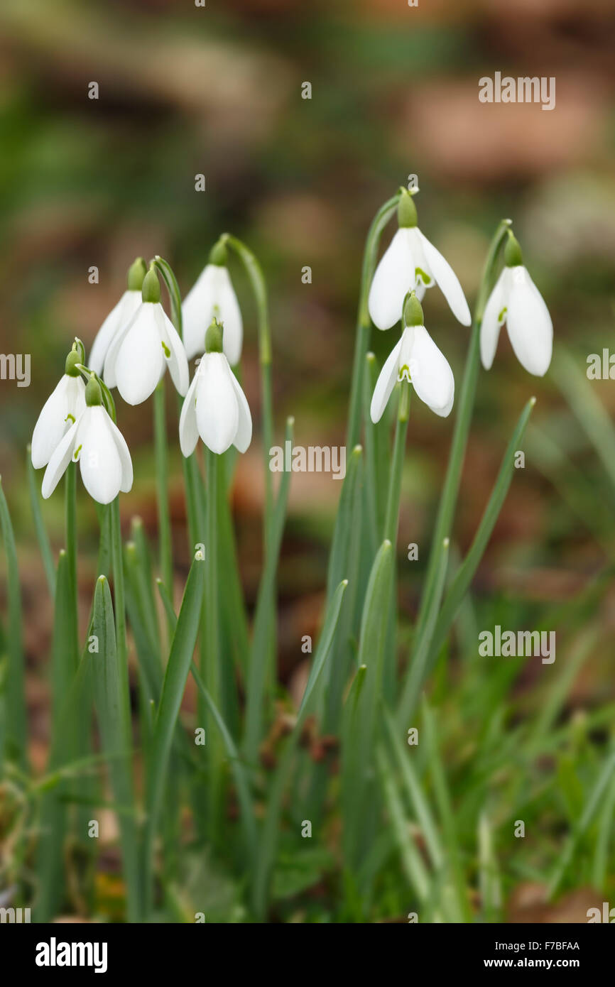 Snowdrops, Galanthus nivalis, in a Graveyard in Worcestershire, England. Stock Photo