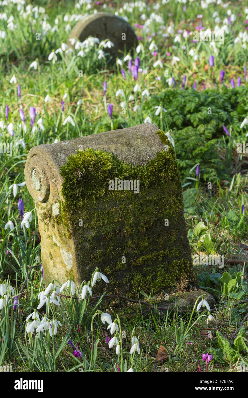 Snowdrops, Galanthus nivalis, surround a moss covered grave in a Graveyard in Worcestershire, England. Stock Photo