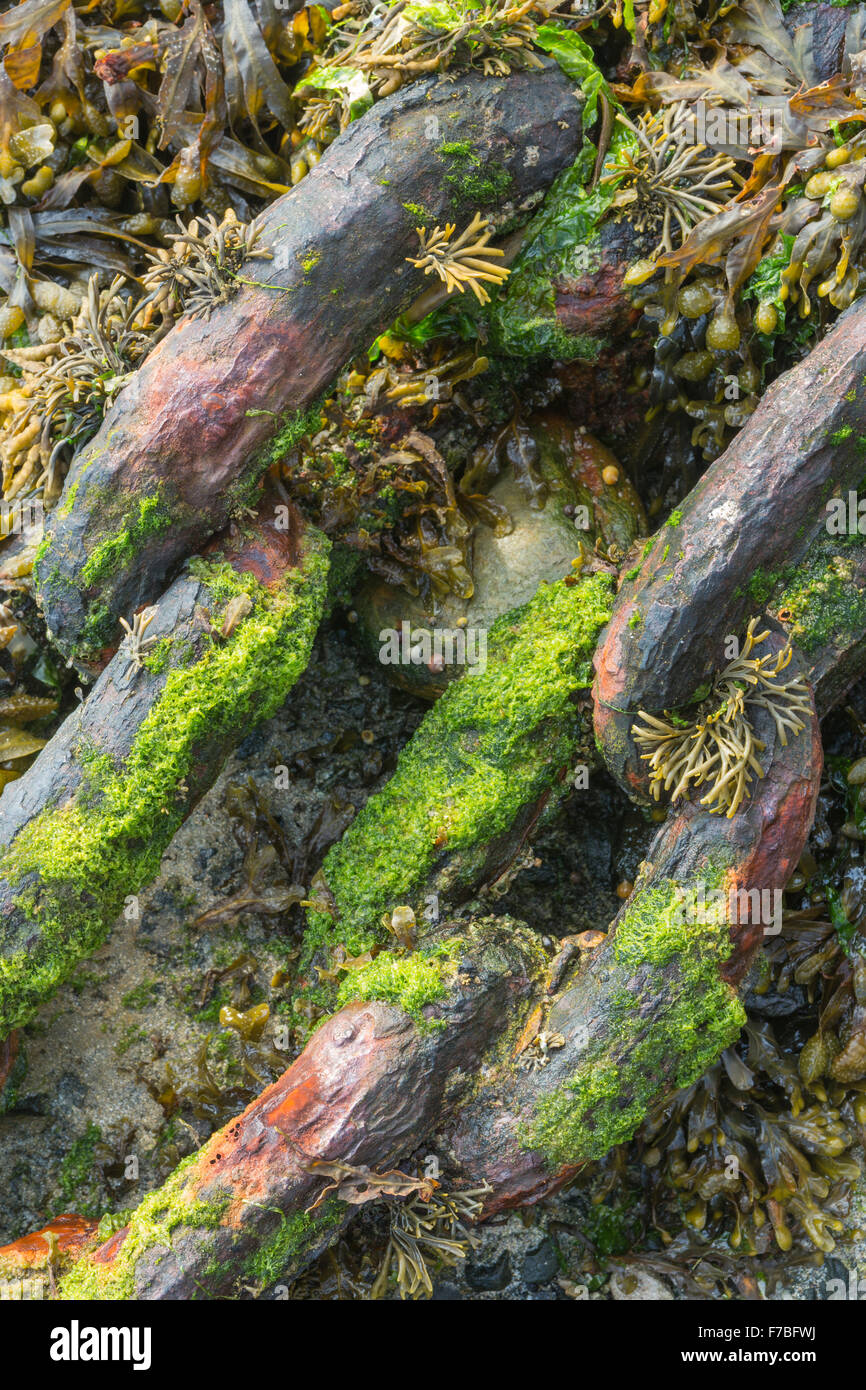 Old chains in a harbour covered in seaweed. - Stock Image