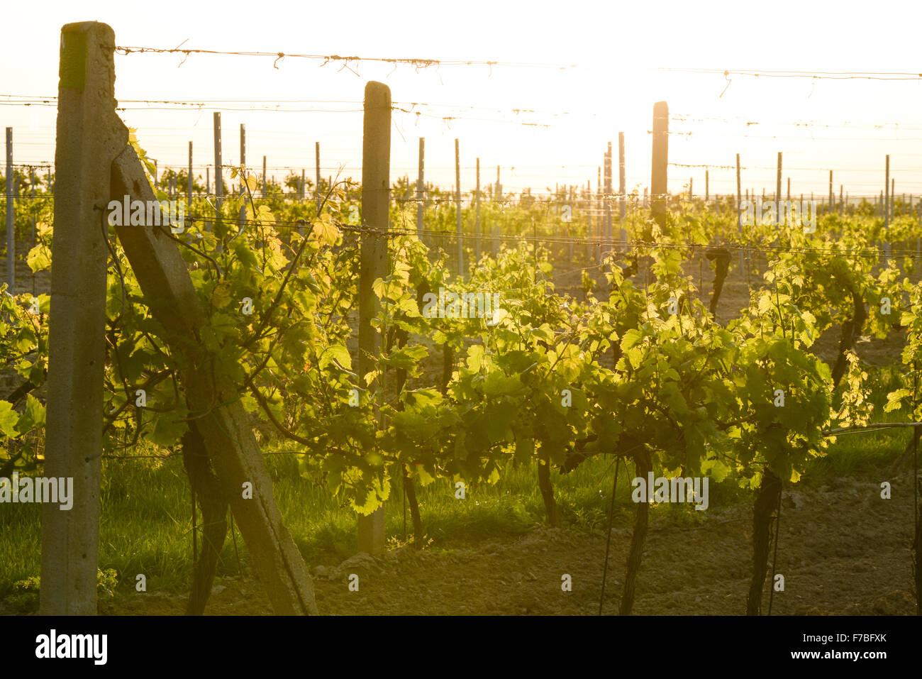 Vine yard, Czech Republic, Southern Morava, Valtice - Stock Image