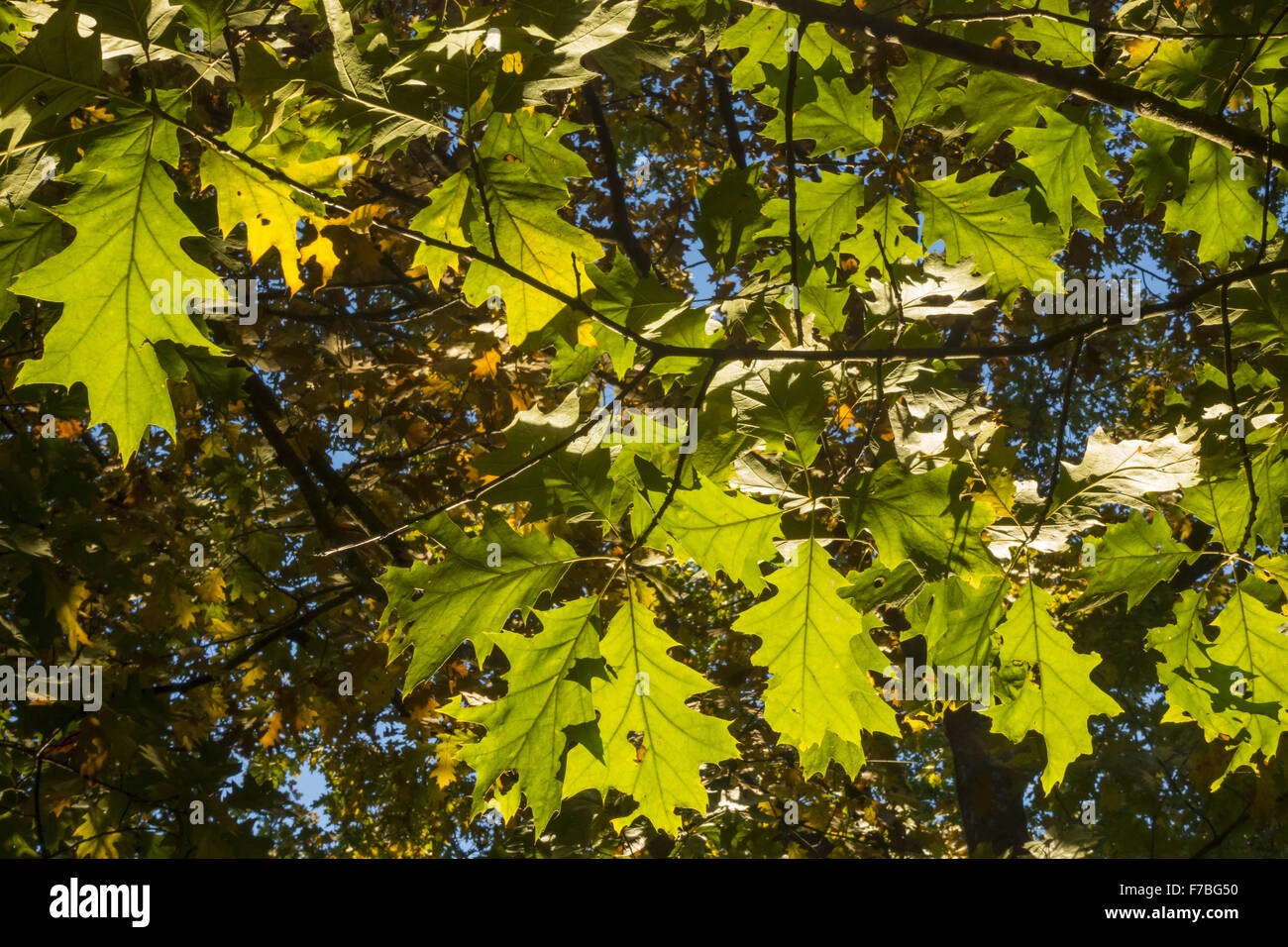 Oak Tree (Quercus sp.), UNESCO World Heritage Site, Landscape Garden of Lednice Castle, Lednice, South Moravia, - Stock Image