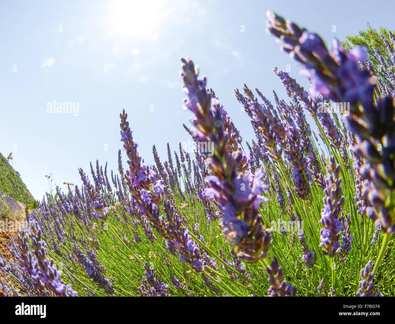 Lavender, Provence, France, Senanque - Stock Image