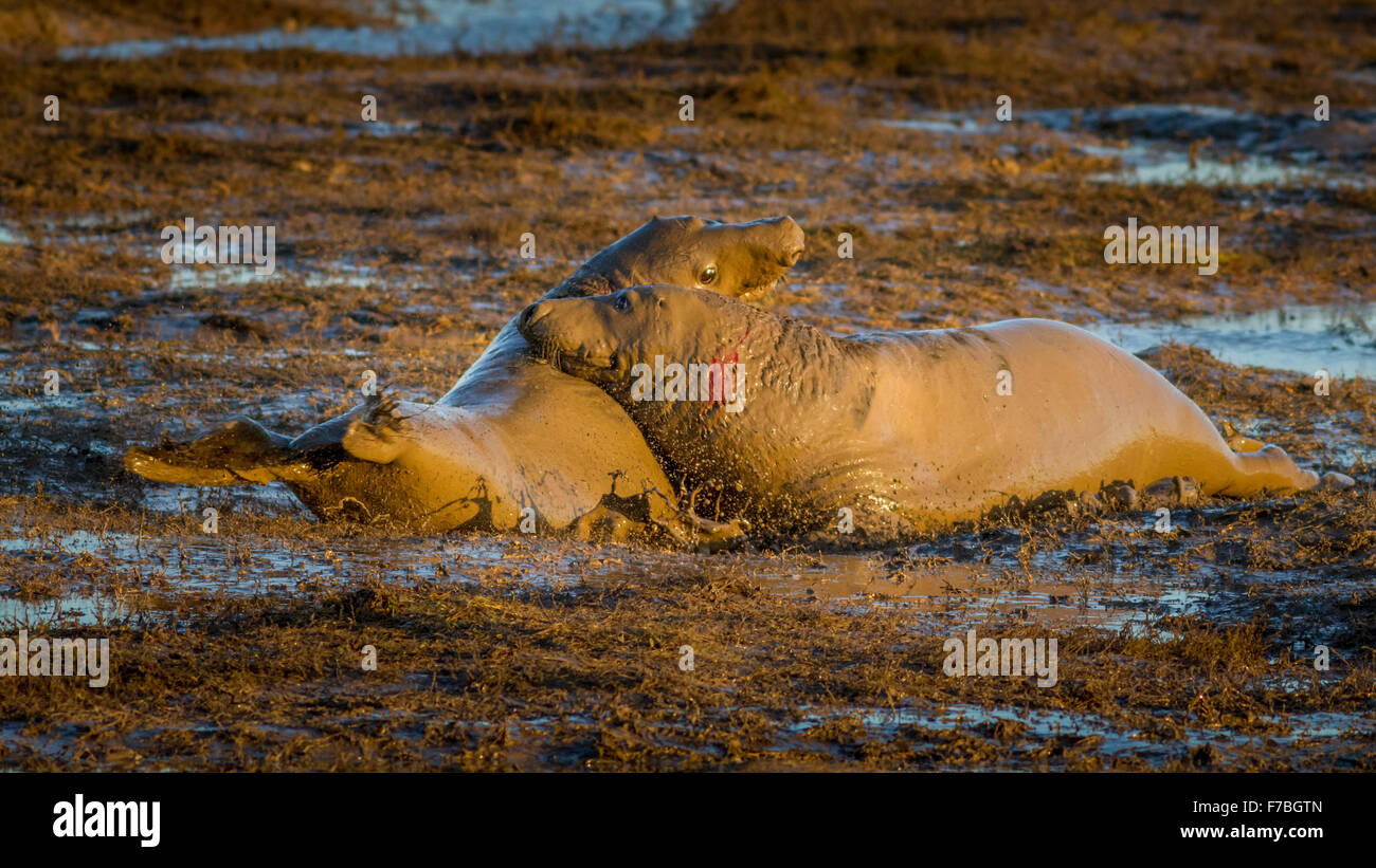 Two bull seals fighting at Donna Nook nature reserve, Lincolnshire, UK - Stock Image