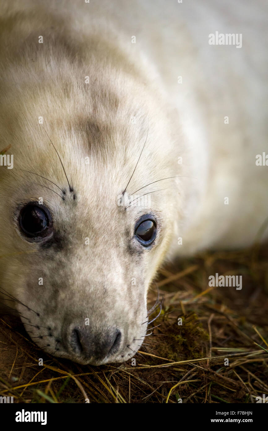Young seal pup looking at camera at Donna Nook nature reserve, Lincolnshire, UK - Stock Image