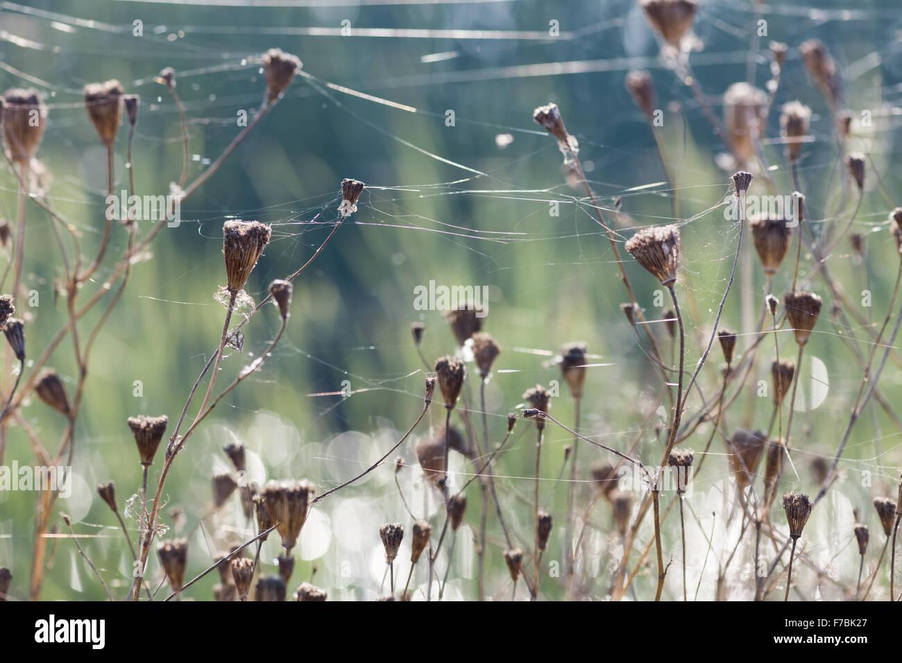 Fine spider webs. Yolo Bypass Wildlife Area, Sacramento, CA. - Stock Image