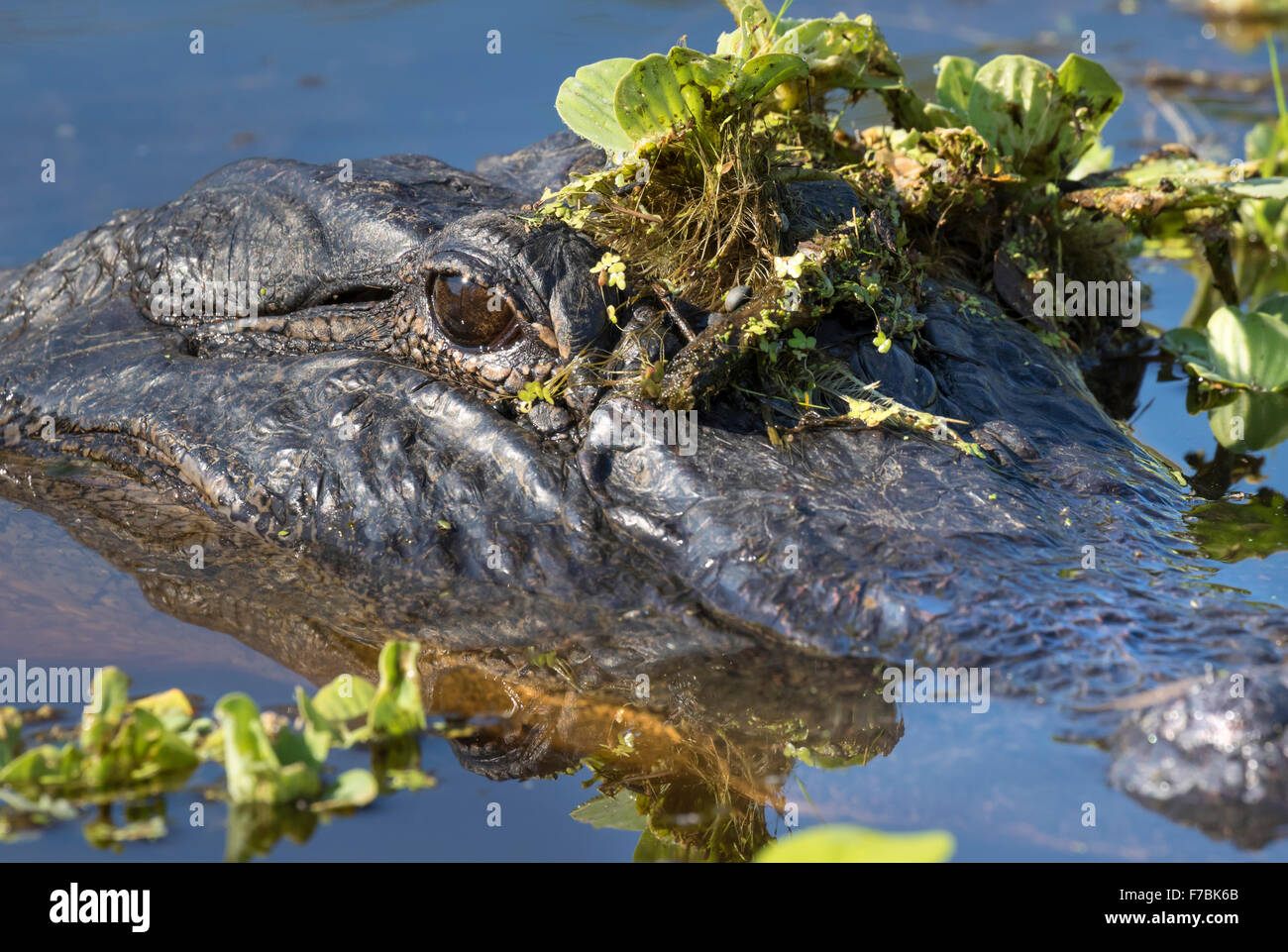 American alligator (Alligator mississippiensis) hiding in water weeds, Brazos Bend state park, Needville, Texas, - Stock Image