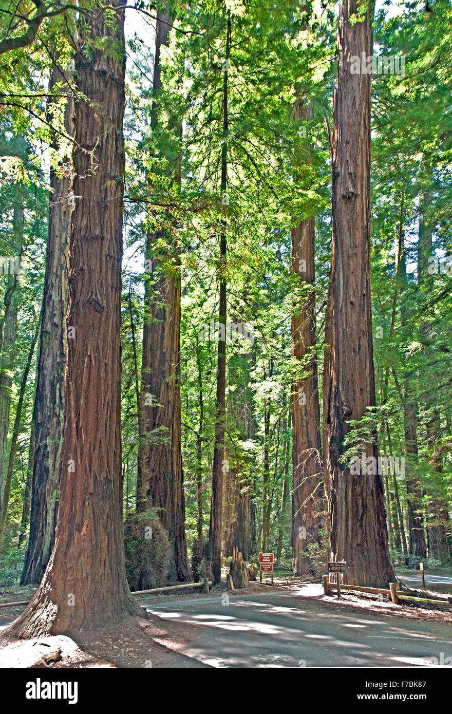 Walking trails thread through these stately redwood trees at Armstrong Redwoods State Natural Preserve near Guerneville, - Stock Image
