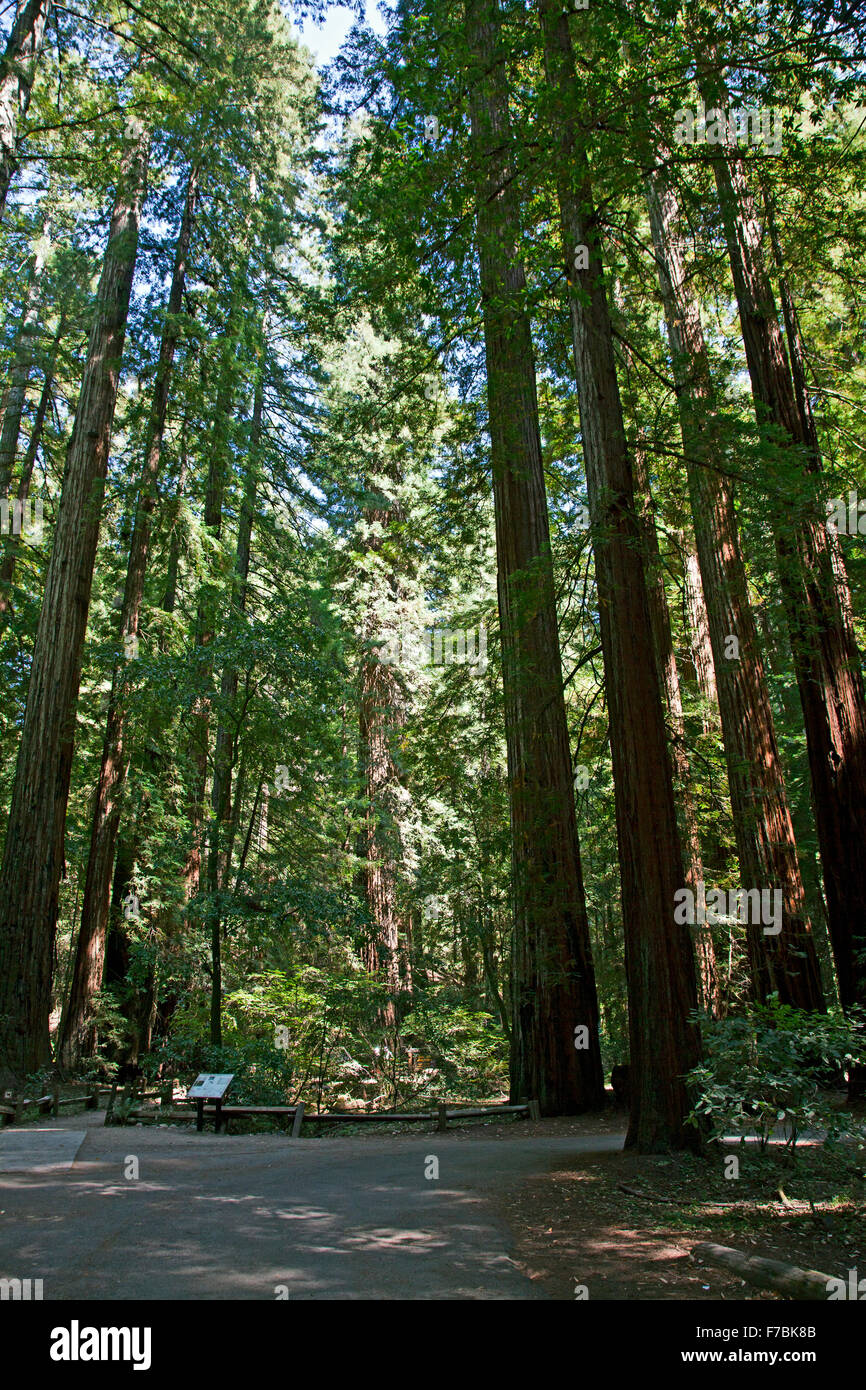 Thicket of coastal redwoods (Sequoia sempervirens) at Armstrong Redwoods State Natural Reserve, Guerneville, California. - Stock Image