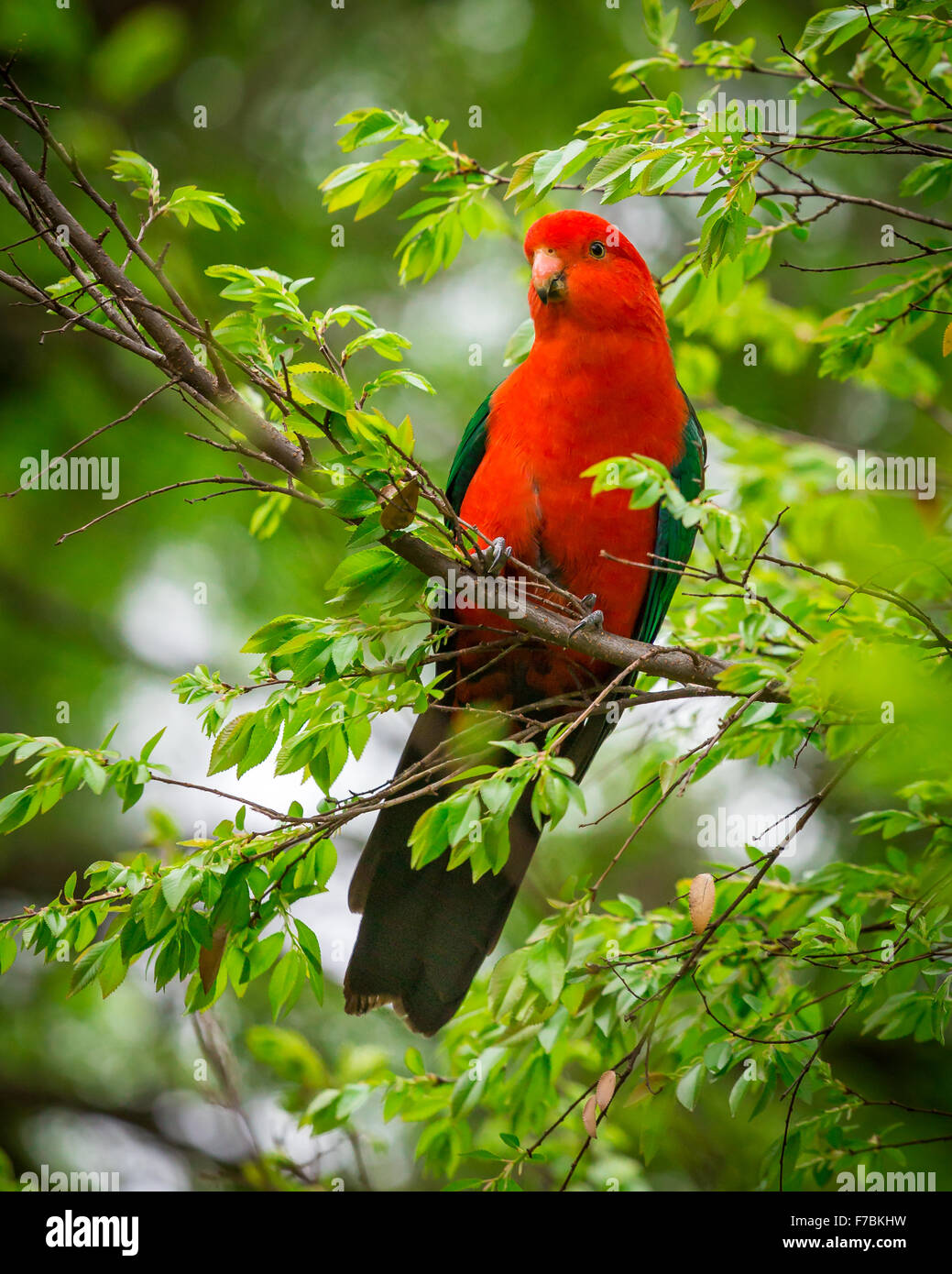 a male king parrot in a tree - Stock Image