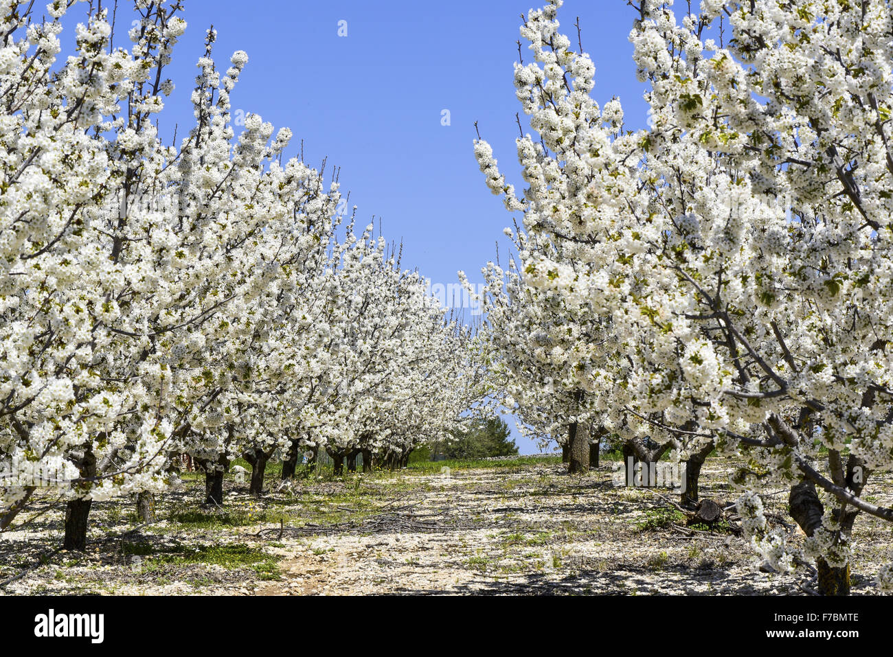 Cherry Blossom, Apulia, Italy - Stock Image