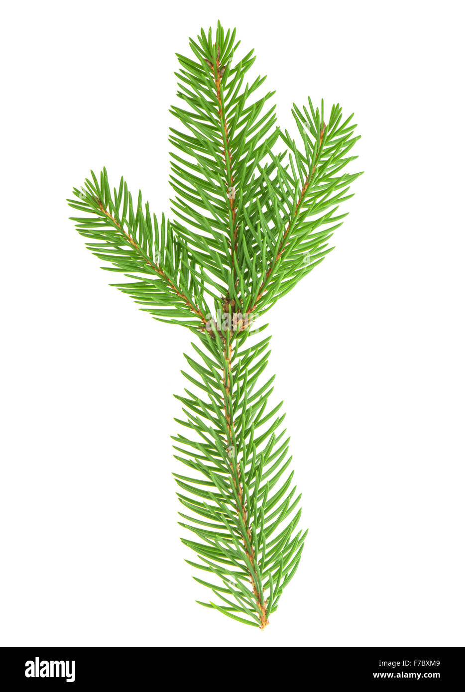 Spruce twig isolated on white background. Evergreen plant - Stock Image