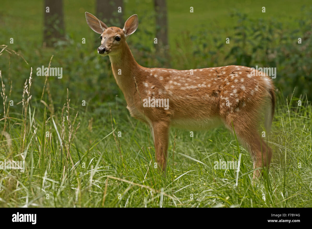 White-tailed deer, New York, fawn - Stock Image