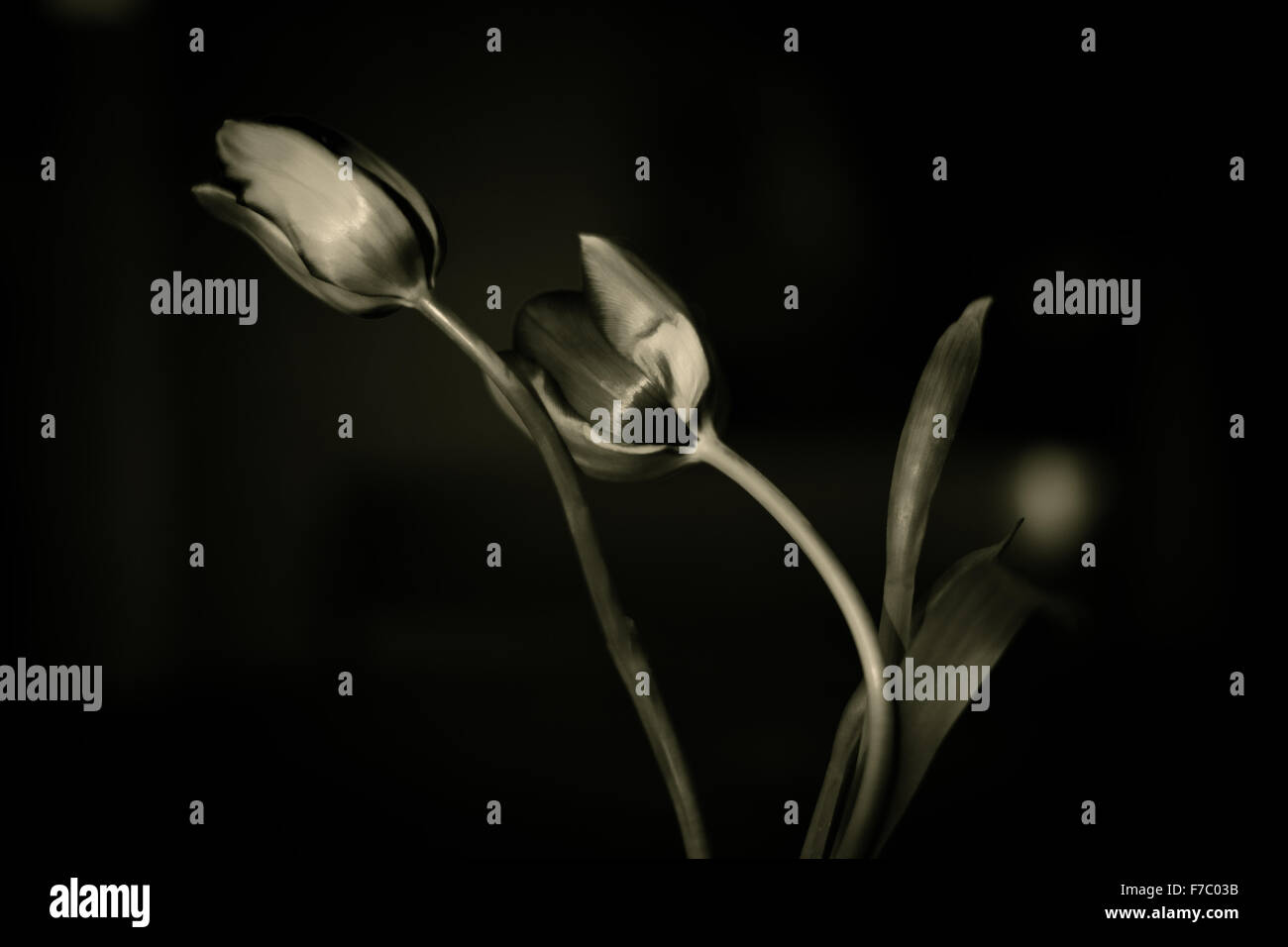 A sepia image of tulips in a vase Stock Photo