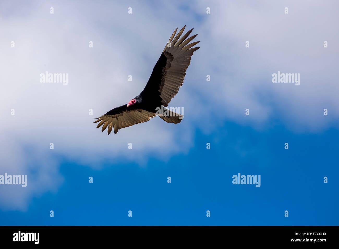 Lappet-faced Vulture (Aegypius tracheliotus Syn. Torgos tracheliotus), free-living, Sancti Spíritus, Cuba, - Stock Image
