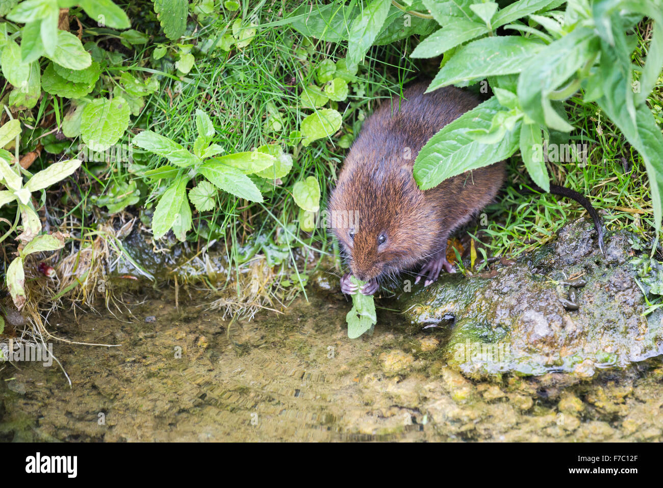 European water vole (Arvicola amphibius) eating a leaf at Wildfowl and Wetlands Trust, Arundel, West Sussex, UK - Stock Image
