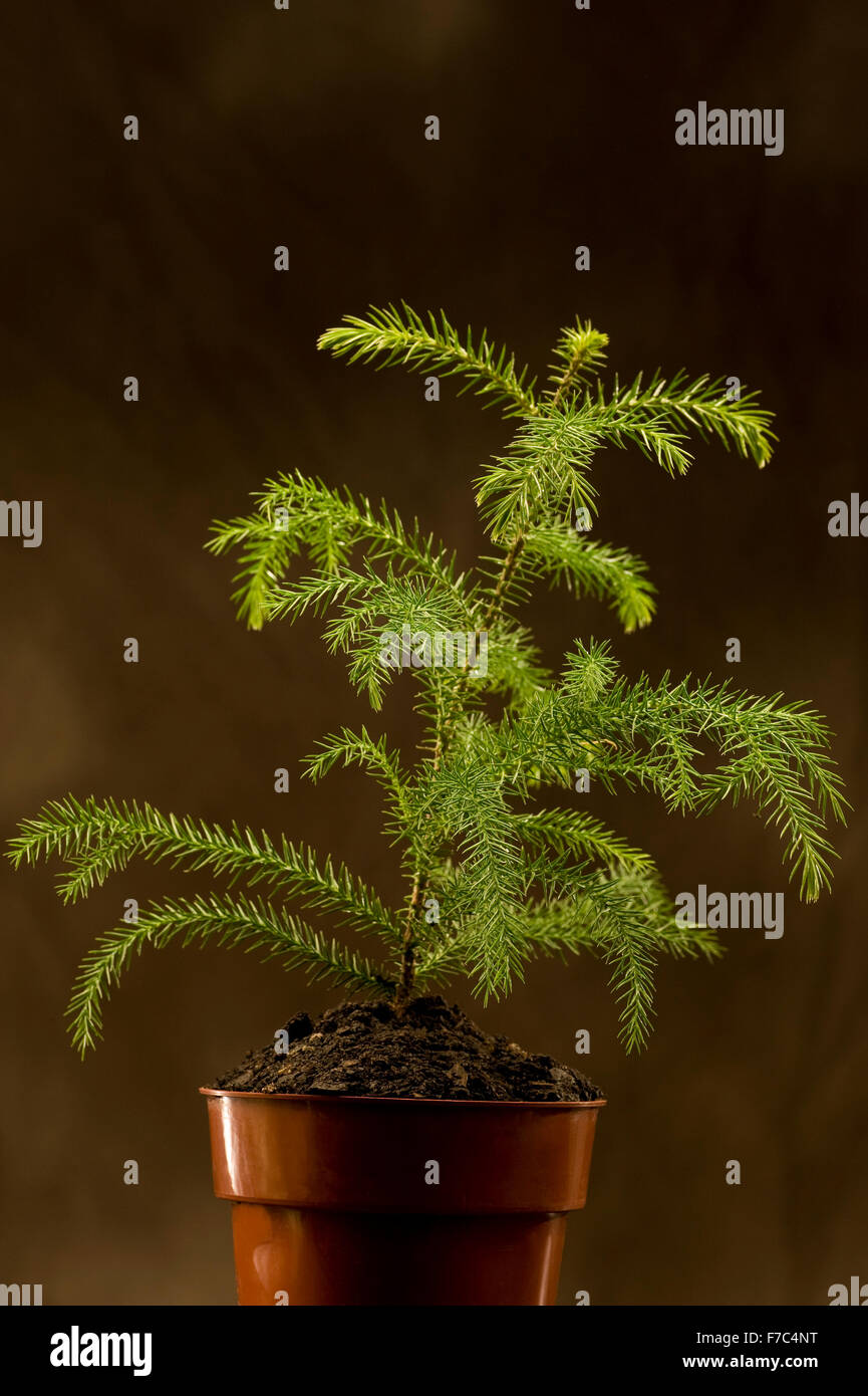 Young seedling in a pot on a brown background. - Stock Image