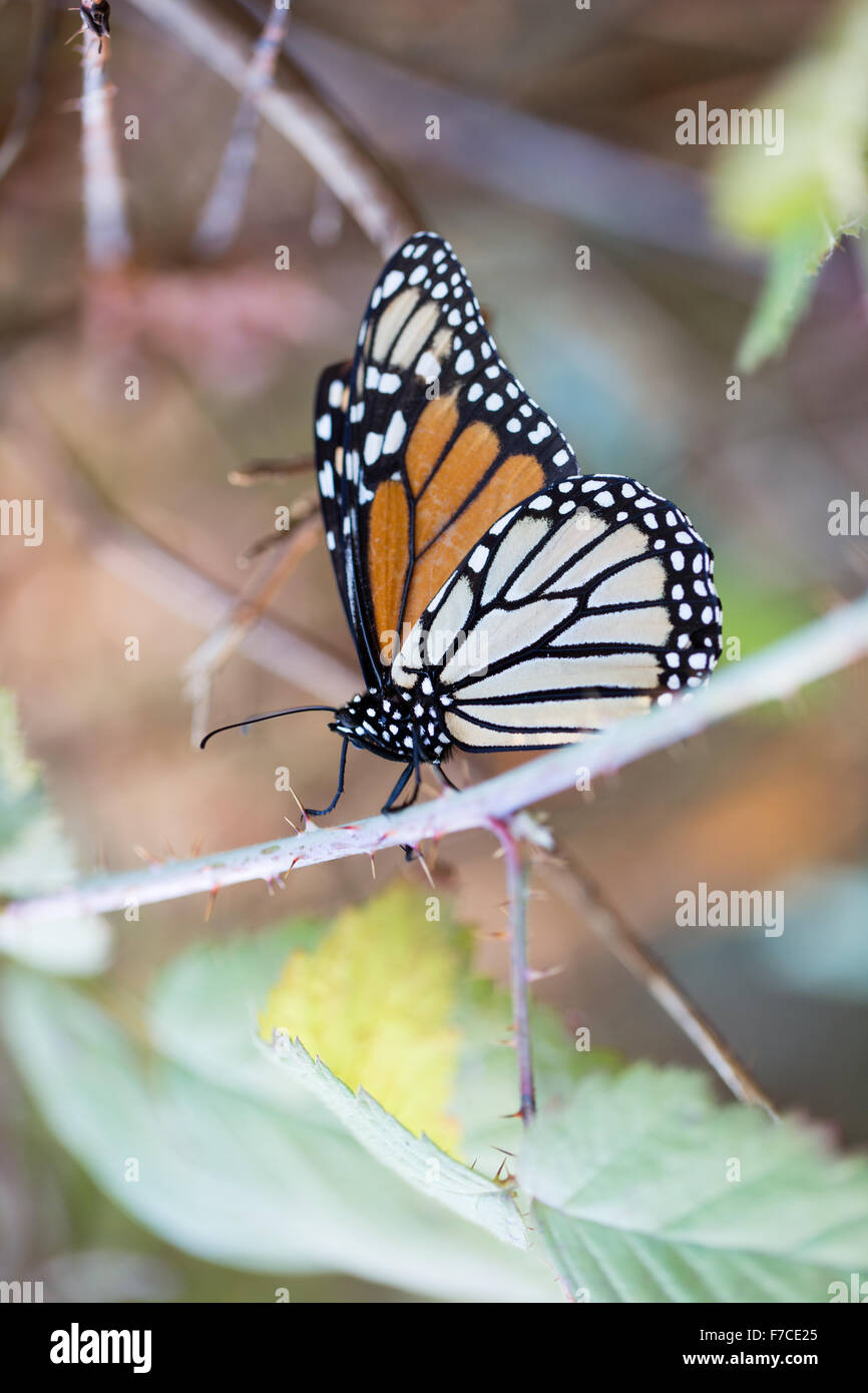 Monarch butterfly holding on to a stem with closed wings - Stock Image