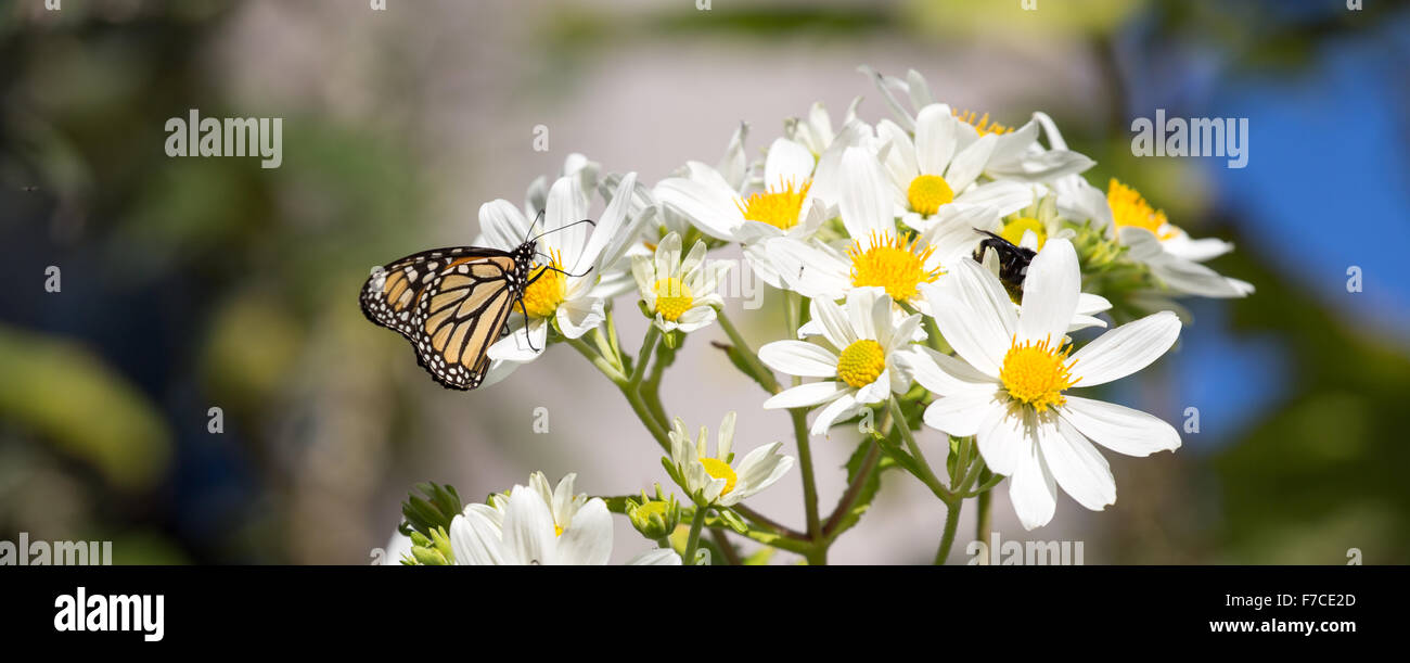 Monarch butterfly feeding on daisy flower nectar - Stock Image
