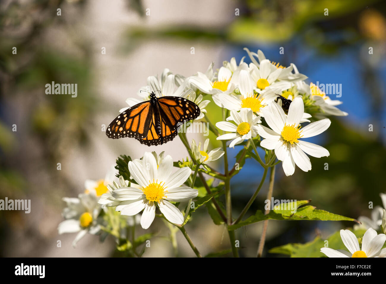 Monarch butterfly drinks daisy flower nectar - Stock Image
