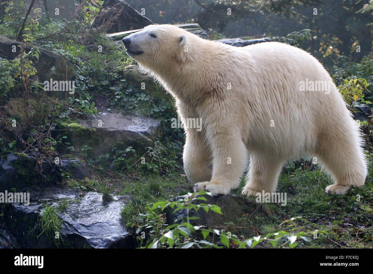 Mature polar bear (Ursus maritimus) sniffing, picking up a scent next to a small stream - Stock Image
