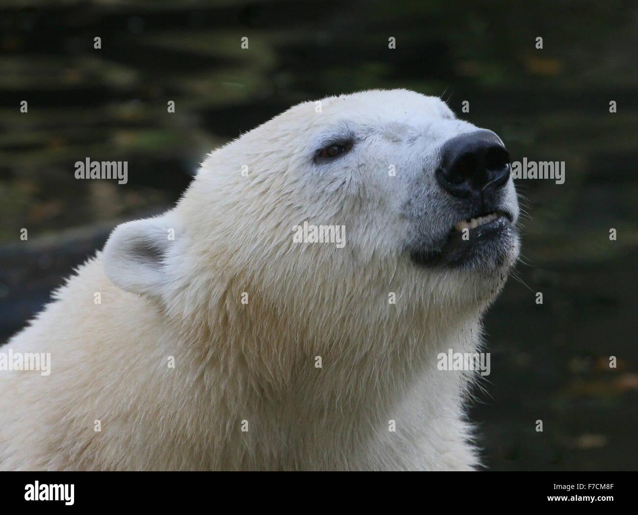 Mature polar bear men galleries