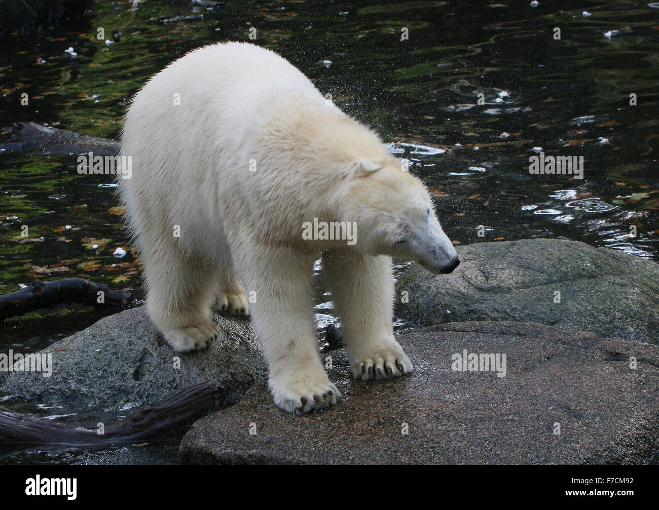 Mature polar bear (Ursus maritimus) near the water's edge, shrugging off excess water from her fur - Stock Image