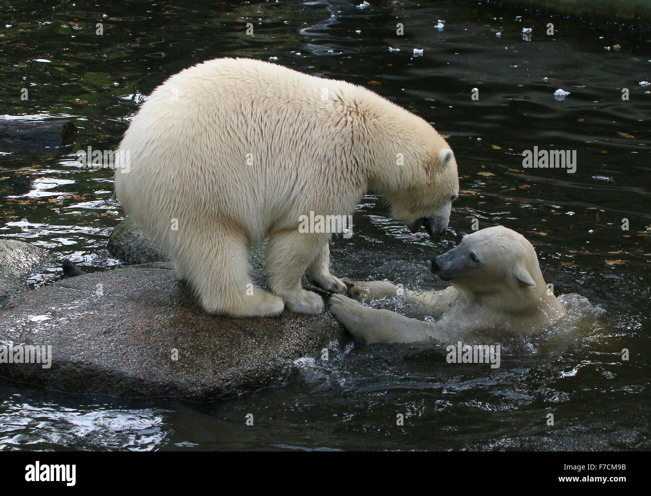 Two spirited female Polar bears (Ursus maritimus) fighting each other on shore, one growling, other surfacing from - Stock Image
