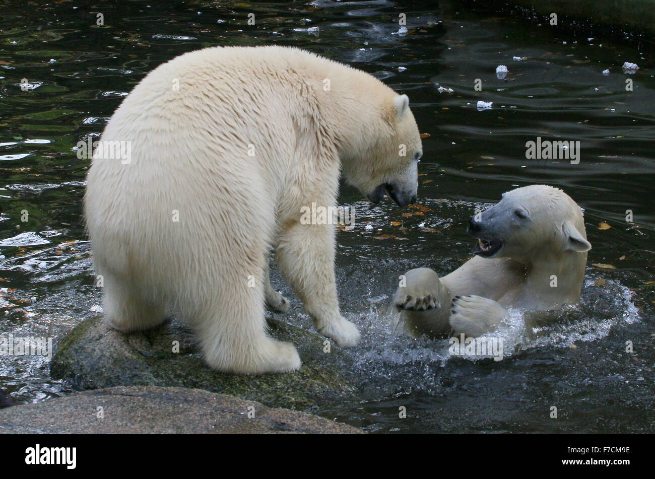 Two feisty female Polar bears (Ursus maritimus) fighting each other on shore, one growling, other surfacing from - Stock Image