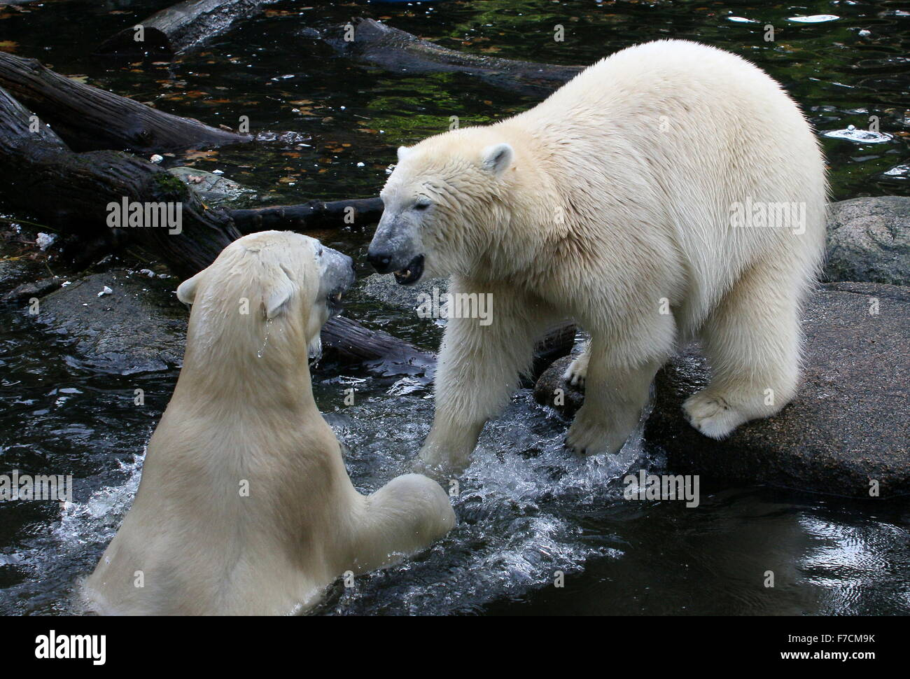 Two aggressive female Polar bears (Ursus maritimus) fighting and confronting each other on shore - Stock Image