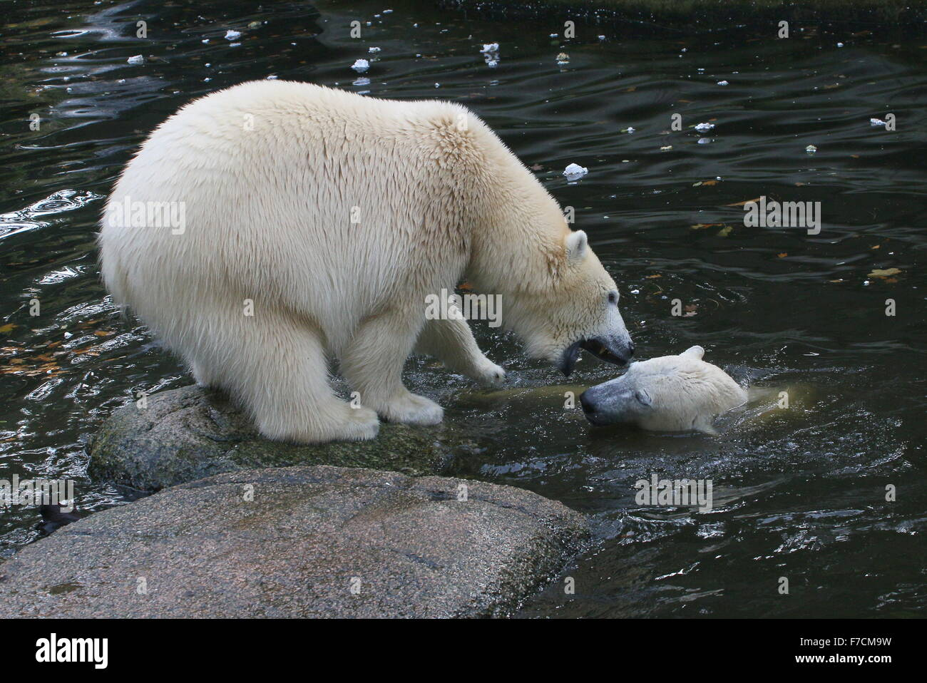 Two female Polar bears (Ursus maritimus) fighting each other on shore, one growling, other surfacing from the water - Stock Image