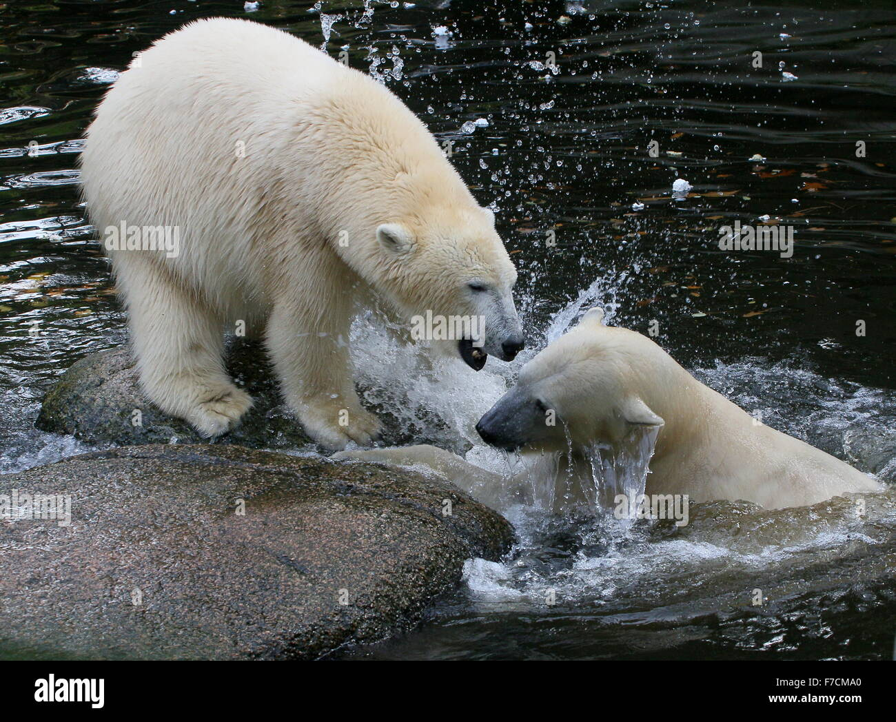 Two feisty female Polar bears (Ursus maritimus) fighting each other on shore, one growling, other lunging upward - Stock Image