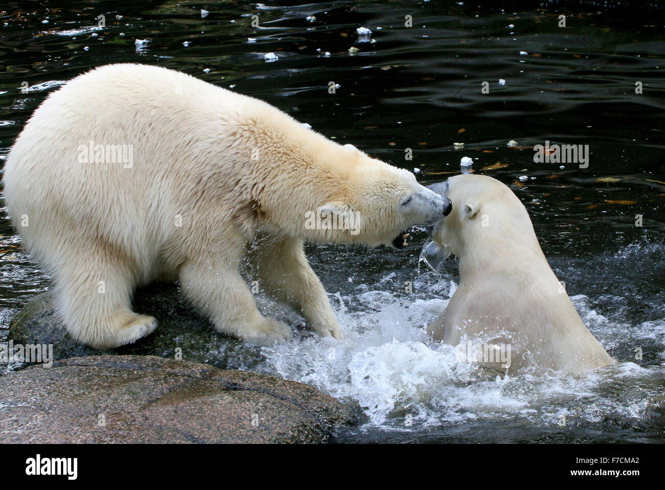 Two feisty female Polar bears (Ursus maritimus) fighting each other on shore, one biting, other lunging upward from - Stock Image