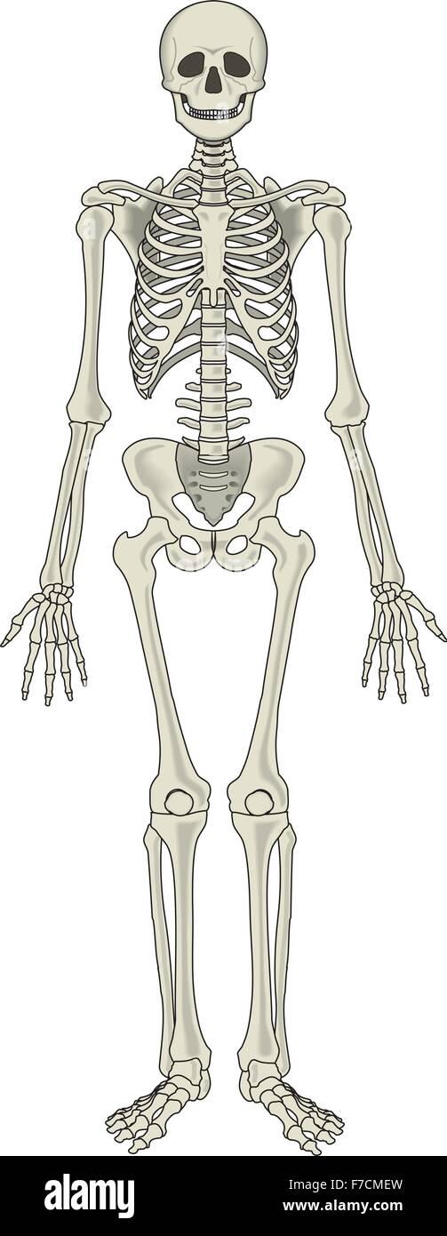 Human Detailed Skeleton Stock Vector Art Illustration Vector