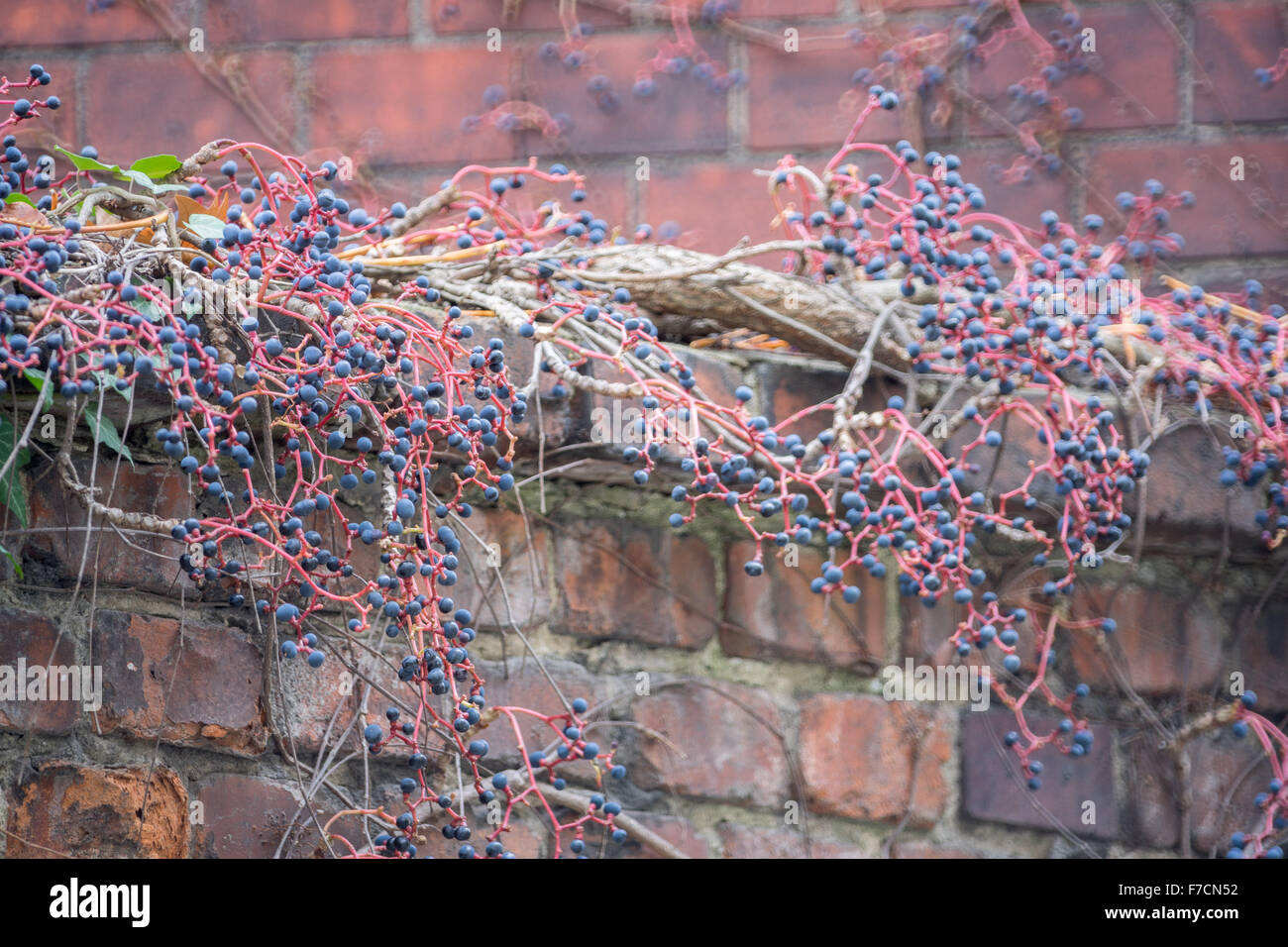Autumn red stems and dark blue berries of virginia creeper's berries on the brick wall Parthenosiccus tricuspidata - Stock Image